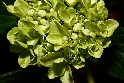 Immature Hydrangea flower head...will be blue.