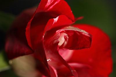 STARS & STRIPES ROSE SLOWLY OPNING...