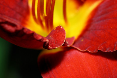 TAHITIAN SUNRISE DAYLILLY PETALS...