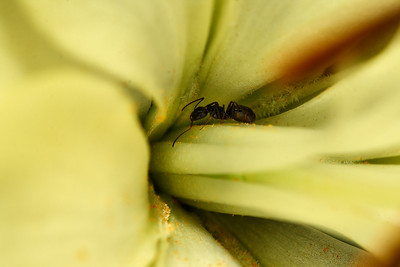 TINY VISITOR DINES ON POLLEN...