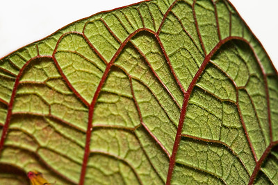 Veins underneath a Poinsettia Leaf...