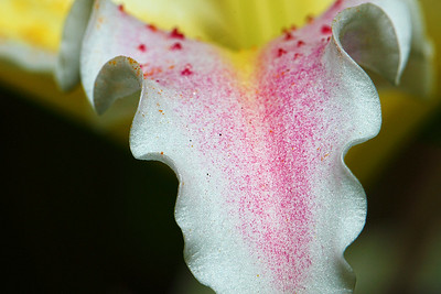 Stargazer Lily petal...