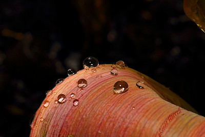 "Raindrop ""Jewels' balance along the fading leaves of last year's tulips..."