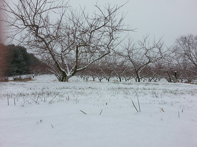 New Jersey peach trees get blanketed in snow. ..1/6/2015