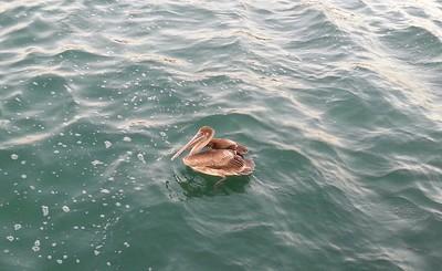 Key West pelican...4/23/14