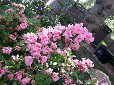 Mothers Day azaleas...seems to bloom around that weekend each year in my garden...