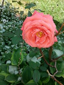 Orange Beauty in my garden...5/30/14