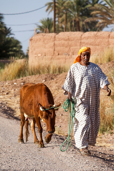 TAGOUNITE. DRAA VALLEY. MOROCCO. BERBER MAN WITH A COW.