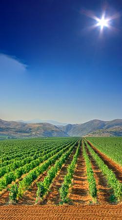 Vineyard field near Veles, Macedonia
