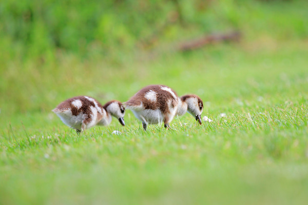 Ducklings on a green grass