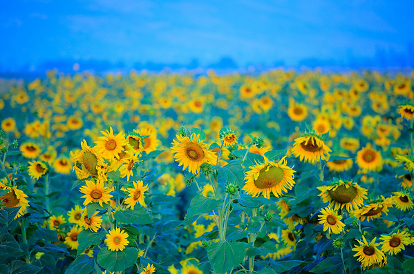 Sunflower field in the Pelagonia region, Macedonia