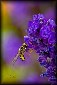 Hornet in the Lavender bush