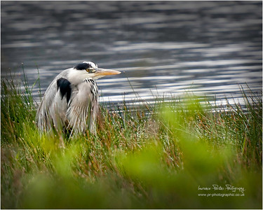 Heron, Waiting by the lakes of Killarney for breakfast