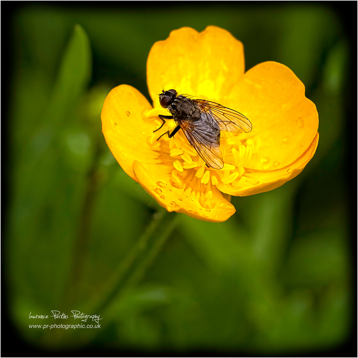 Fly in a buttercup