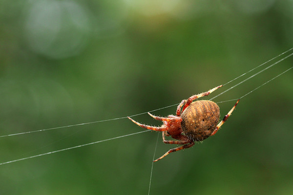 Marbled Orb Weaver Starting It's Web