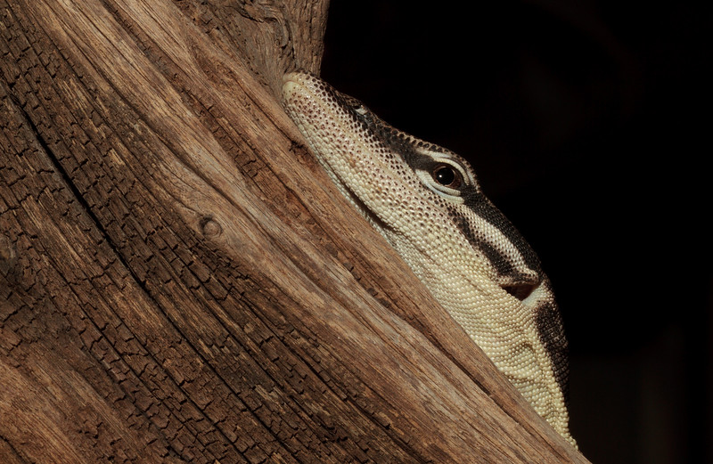 Kimberley Rock Monitor, Akvariat in Bergen