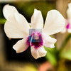 White and Purple Bicolor Dendrobium Orchid Flower