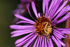 Crab Spider on Wild Aster