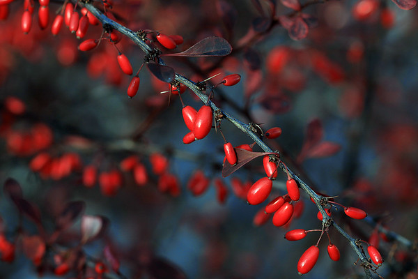 Rose Glow Barberry berries