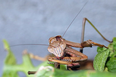 Chinese Praying Mantis Face