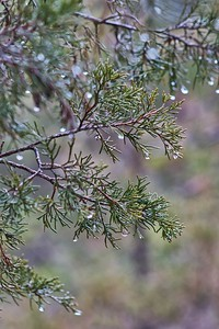 Pine Water Droplets