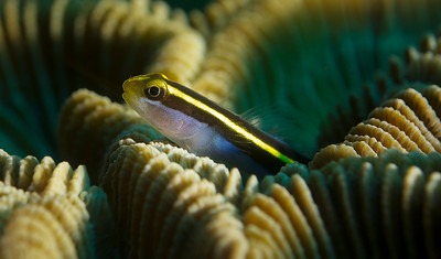 Yellowline goby