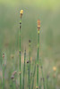 Scouring rush Horsetail