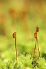 Moss Capsules