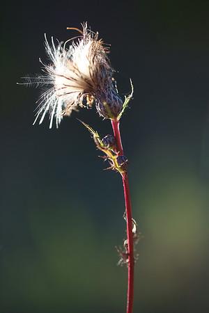 Canada Thistle Seed Head