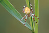 Marbled Orb Weaver Spider