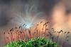 Milkweed Seed on Moss Capsules