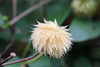Clematis Seed Pod