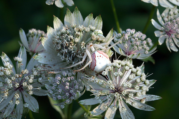 Crab Spider on Astrantia Flower