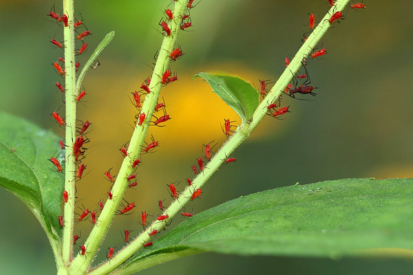 Red Aphids