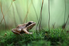 Wood Frog Amidst the Moss Capsules