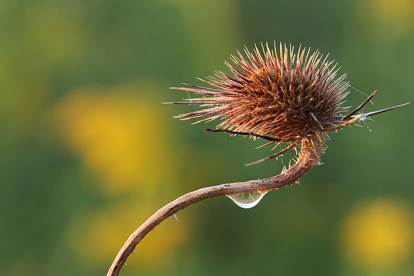 Drop of Water on Dried Teasel