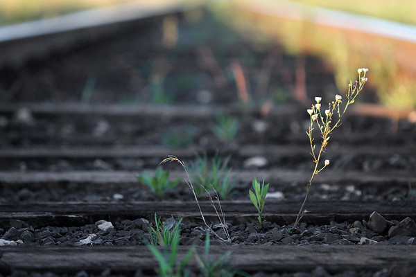 Flower on the Train Tracks