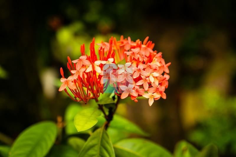 Ixora flower bunch