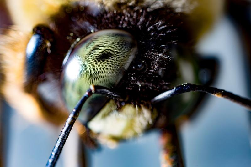 Carpenter Bee Eye