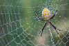 Black and Yellow Garden Spider with Morning Dew
