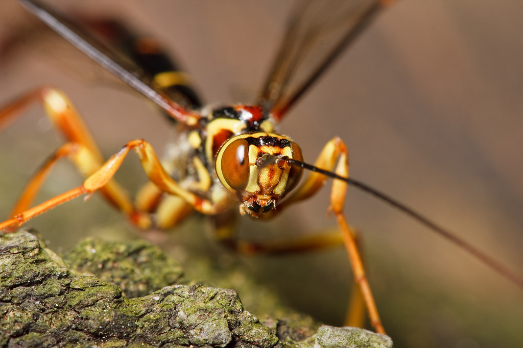 A male ichneumon wasp (Megarhyssa macrurus) searching a dead tree for females that have not yet emerged.