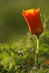 Royal Orange