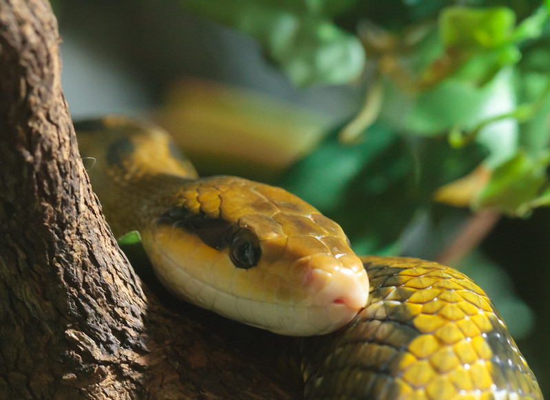 Taiwan Beauty Snake, Akvariat in Bergen