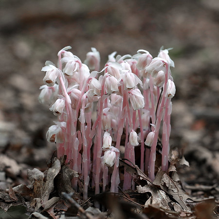 Indian Pipe Plants with Pinkish Hue