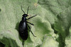 Buttercup Oil Beetle  (Blister Beetle)