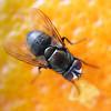 Fly on Orange Peel