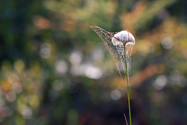 Spider Web on Cottongrass