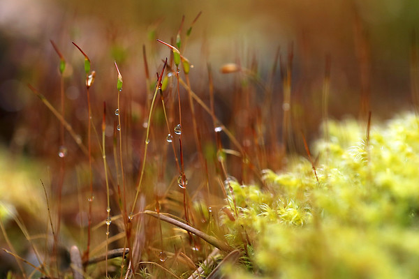 Moss Capsules with Dew Drops
