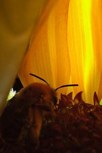 Long-horned bee in sunflower