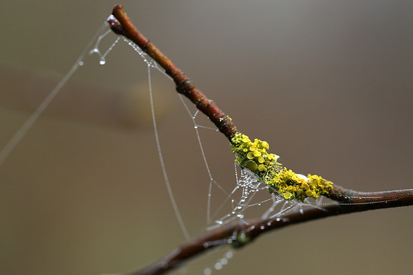 Yellow Cup Lichen & Dew Drops